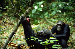 Adult male chimp eating leaves with monkey meat. Tanzania Mahale Mountains {Pan troglodytes }  -  IAN REDMOND