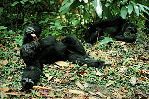 Male chimps relaxing - one eating monkey meat. Tanzania, Mahale Mountains {Pan troglodytes}  -  IAN REDMOND