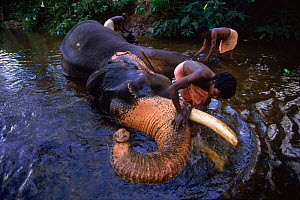 Indian Elephant {Elephas maximus} being washed by mahout Western Ghats, India. Lifesense  -  John Downer