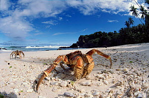 Coconut Crab on beach, Christmas Island, Indian Ocean.  -  Jurgen Freund