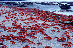 Masses of Christmas Island Red Crabs spawning on the beach.  -  Jurgen Freund