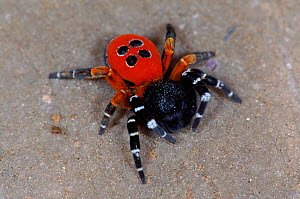 Ladybird spider male, Germany  -  Hans Christoph Kappel