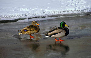 Mallard pair on frozen lake. (Anas platyrhynchos) National Elk Refuge, Wyoming, USA.  -  TOM MANGELSEN