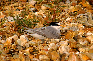 Little tern on nest, Hampshire, England  -  Chris Packham