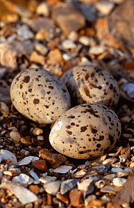 Little tern (Sternula albifrons) eggs in beach nest, Hampshire, UK  -  Chris Packham