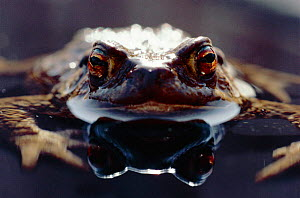 Common European toad female portrait (Bufo bufo) in water, England - Chris Packham