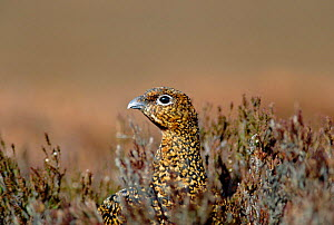 Red grouse female in heather Deeside, Scotland (Lagopus lagopus scoticus)  -  David Kjaer