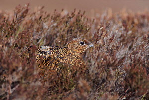 Red grouse female in heather Deeside, Scotland  -  David Kjaer
