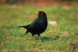 Blackbird (Turdus merula), male on lawn. Kent, England, UK, Europe  -  Nigel Bean