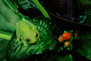 Glass frog in rainforest understorey, Ecuador  -  Doug Wechsler