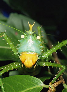 Spiny katydid / Bush cricket {Tettigonoidae} portrait, Ecuador  -  MORLEY READ