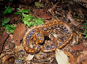 Rainbow boa (Epicrates cenchris) on forest floor at night, note the irridescence of the skin, Ecuador, South America  -  MORLEY READ