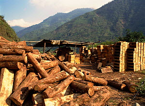 Wood cut from rainforest to make boxes. Ecuador, South America  -  MORLEY READ