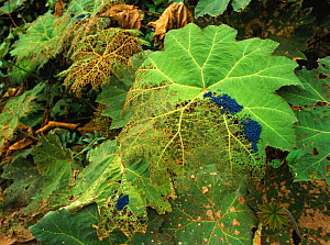Beetles feeding on leaves of the Poor man's umbrella, Central and South America  -  MORLEY READ