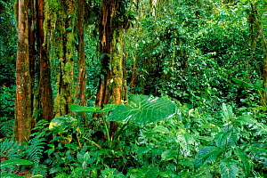 Sub tropical montane forest at 1,500m. Western. Andes, Ecuador  -  Doug Wechsler