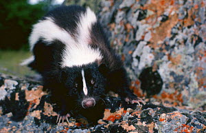 Striped Skunk (Mephitis mephitis) Montana, USA - JEFF FOOTT