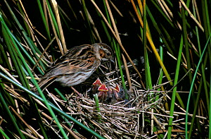Reed bunting with chicks at nest (Emberiza schoeniclus) Devon,  England - Andrew Cooper
