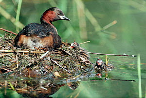 Little grebe with chicks on nest (Podiceps ruficollis) England.  -  Mike Wilkes