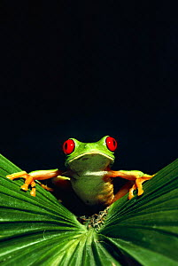 Red eyed tree frog portrait (Agalychnis callidryas)  -  Phil Savoie