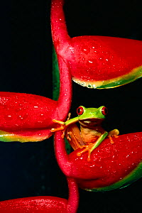Red eyed treef rog on heliconia (Agalychnis callidryas) C - Phil Savoie