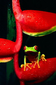 Red eyed tree frog on heliconia (Agalychnis callidryas) - Phil Savoie