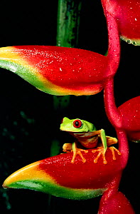 Red eyed tree frog on heliconia C (Agalychnis callidryas) 1 of 2 Sequence 1 - about to jump  -  Phil Savoie