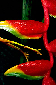 Red eyed tree frog legs - leaping from Heliconia -  Sequence 2 (Agalychnis callidryas)  -  Phil Savoie
