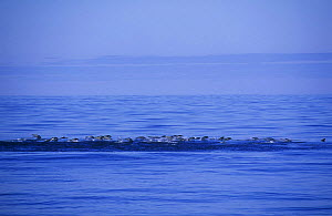 Pod of Southern right whale dolphin (Lissodelphis peronii) hunting in a group, off coast of Peru  -  Pete Oxford