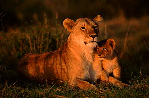 Lioness with very young cub (Panthera leo) East Africa  -  Anup Shah