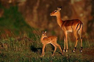 Imapla with young fawn, East Africa  -  Anup Shah