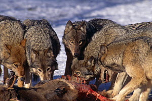 Grey wolf {Canis lupus} pack feeding on White  tailed deer carcass, captive, Canada Wolf Reserve - Louis Gagnon
