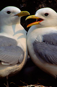 Kittiwake pair at nest, Canada, St. Lawrence Gulf  -  Louis Gagnon