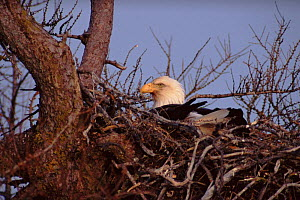 Female Bald Eagle sitting on eggs, Anticosti Island, Canada - Louis Gagnon
