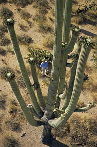 "Sir David Attenborough looking up at Saguaro cactus, on location in Arizona filming for the BBC television series ""Private Life of Plants"", 1994 - NEIL NIGHTINGALE"