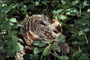 Fallow deer fawn lies camouflaged in nettles. England  -  Paul Johnson