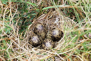 Snipe eggs {Gallinago gallinago} in nest on ground, Outer Hebrides, Scotland.  -  Chris Packham