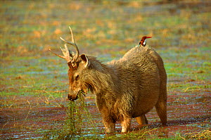 Sambar with White breasted kingfisher on its back, India.  -  Hermann Brehm