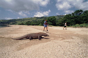 Komodo Dragon on beach with tourists, Komodo Island - Jurgen Freund