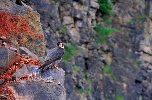 Female peregrine on rocks in a quarry, UK. Captive bird. - SIMON KING