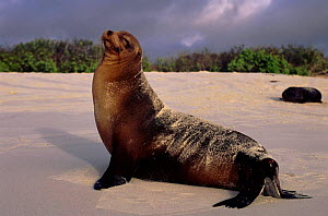 Galapagos sealion (Zalophus californianus). Galapagos Islands, Ecuador  -  Pete Oxford