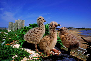Greater black backed gull chicks, St. Mary's Islands, Canada. - Louis Gagnon