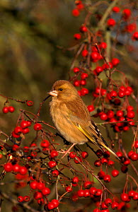 Greenfinch and hawthorn berries. UK - Mike Wilkes