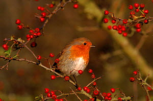 Robin perched in hawthorn bush, England - Mike Wilkes