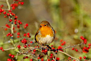 Robin (Erithacus rubecula) perched in hawthorn bush with berries, England - Mike Wilkes