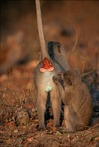 Vervet monkey (Chlorocebus / Cercopithecus aethiops) grooming male. Kruger National Park South Africa  -  Tony Heald