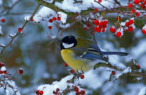 Great tit perched in hawthorn tree, winter, England  -  Mike Wilkes