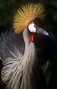 Crowned crane (Balearica regulorum) portrait, captive  -  John Downer