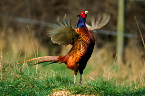 Pheasant cock calling, England  -  Mike Wilkes