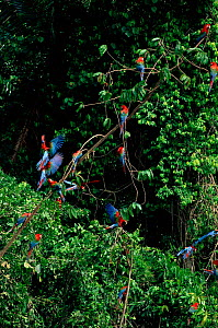 Green winged macaws perched by salt lick. Madre De Dios River, Peru, Amazon, South America  -  Pete Oxford