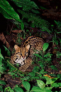 Ocelot, Ecuadorian Amazon, South America.  -  Pete Oxford